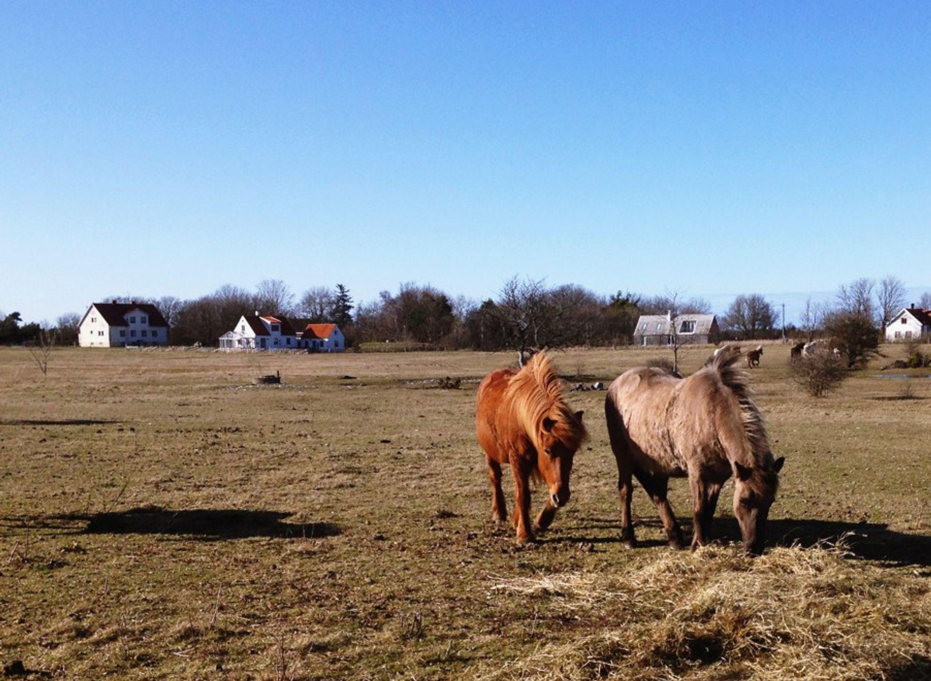 Icelandic horses in Gotland