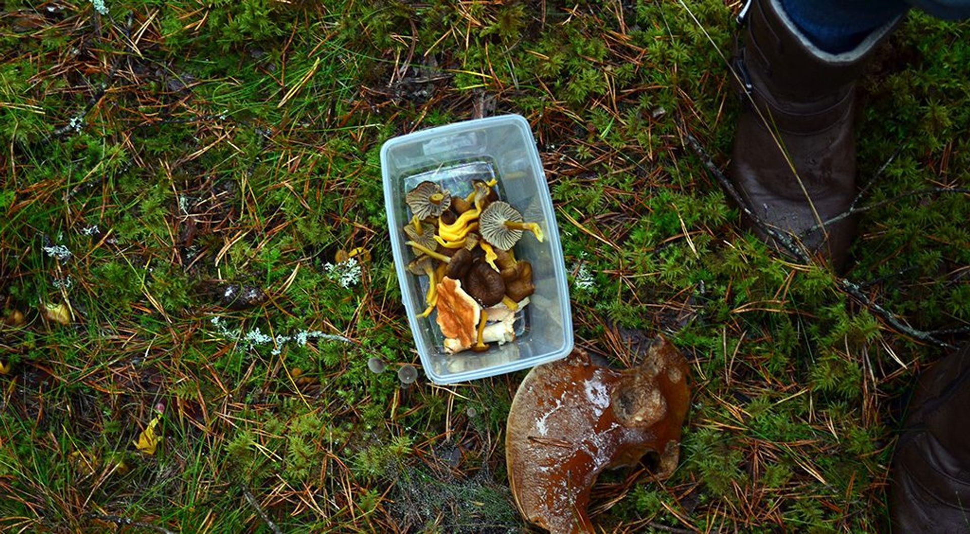 Chanterelle is the gold
