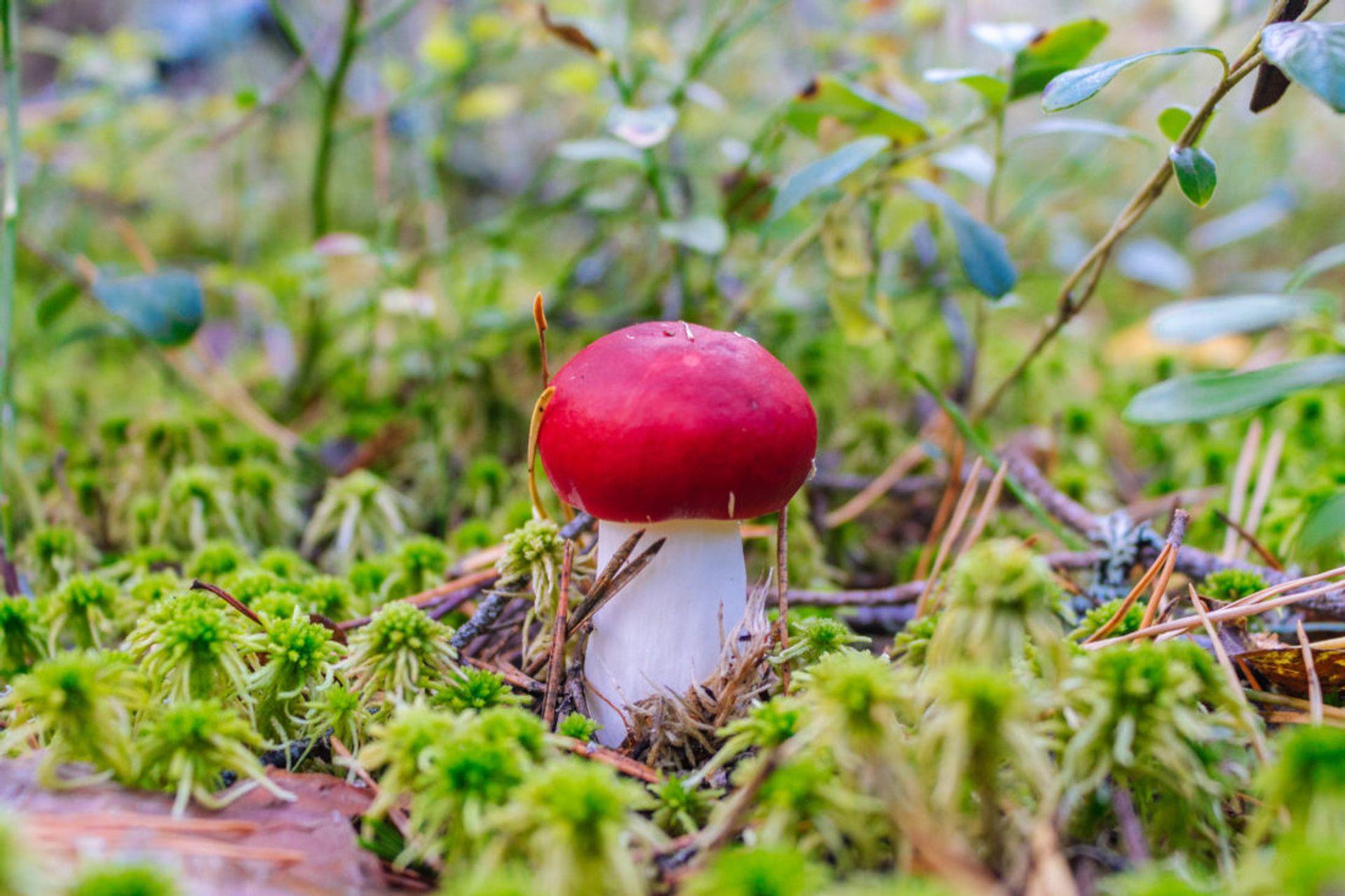 Close up of a red mushroom.