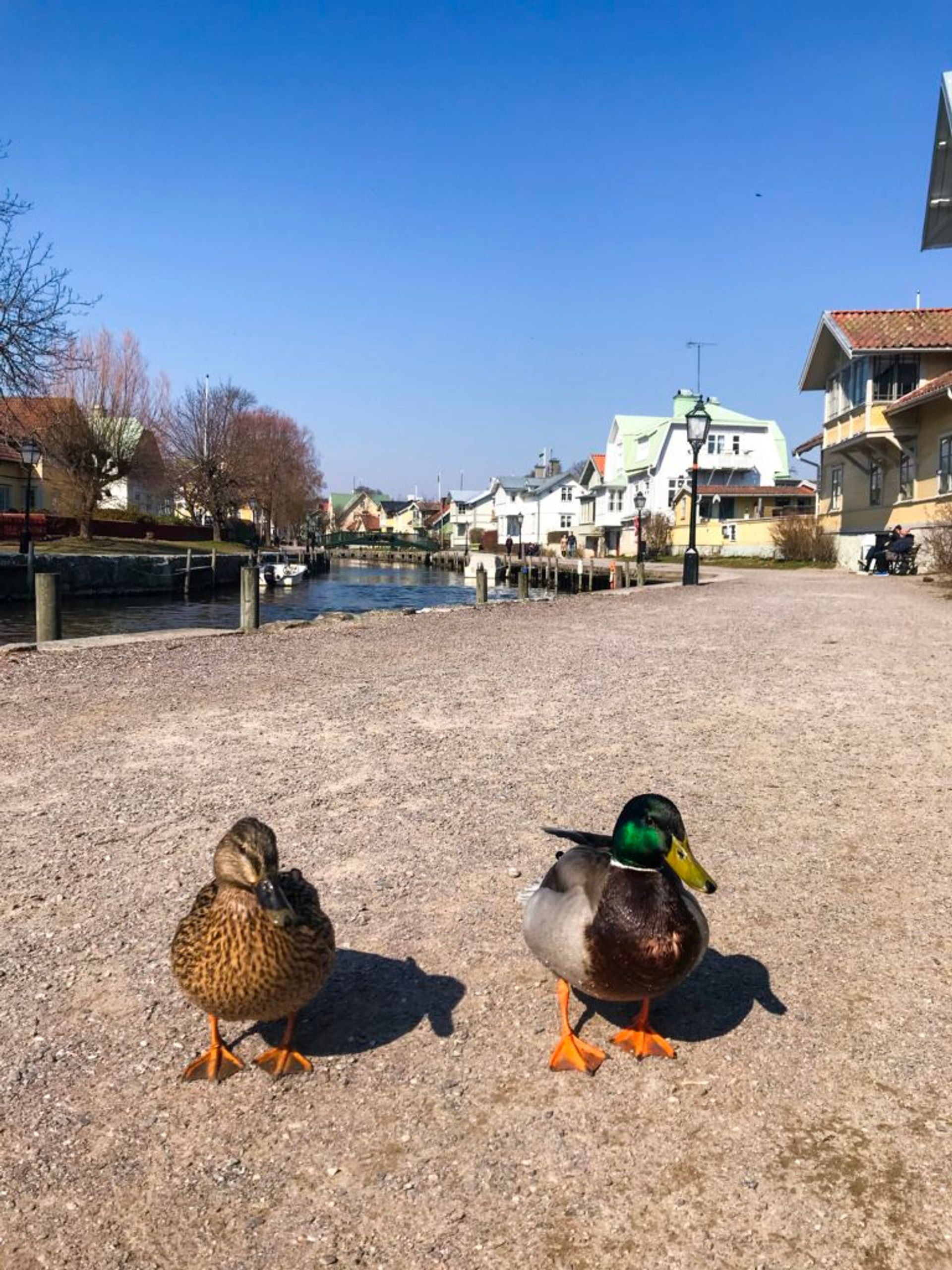 Ducks by the river.