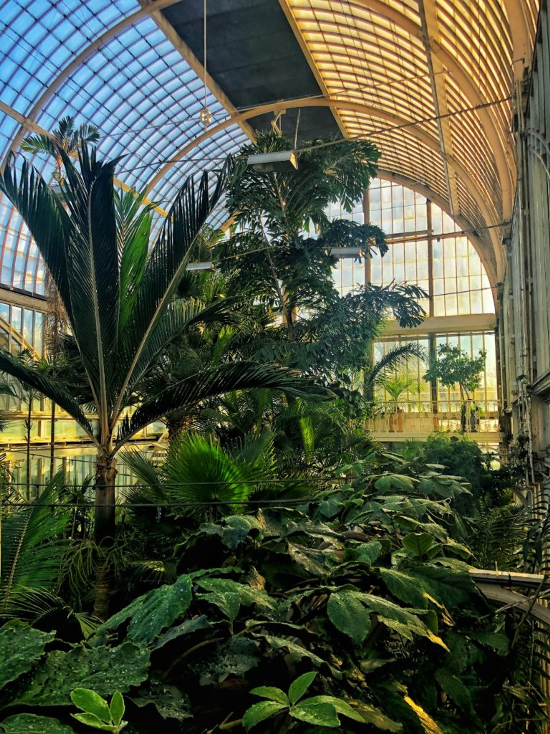 Palm trees in a large greenhouse.