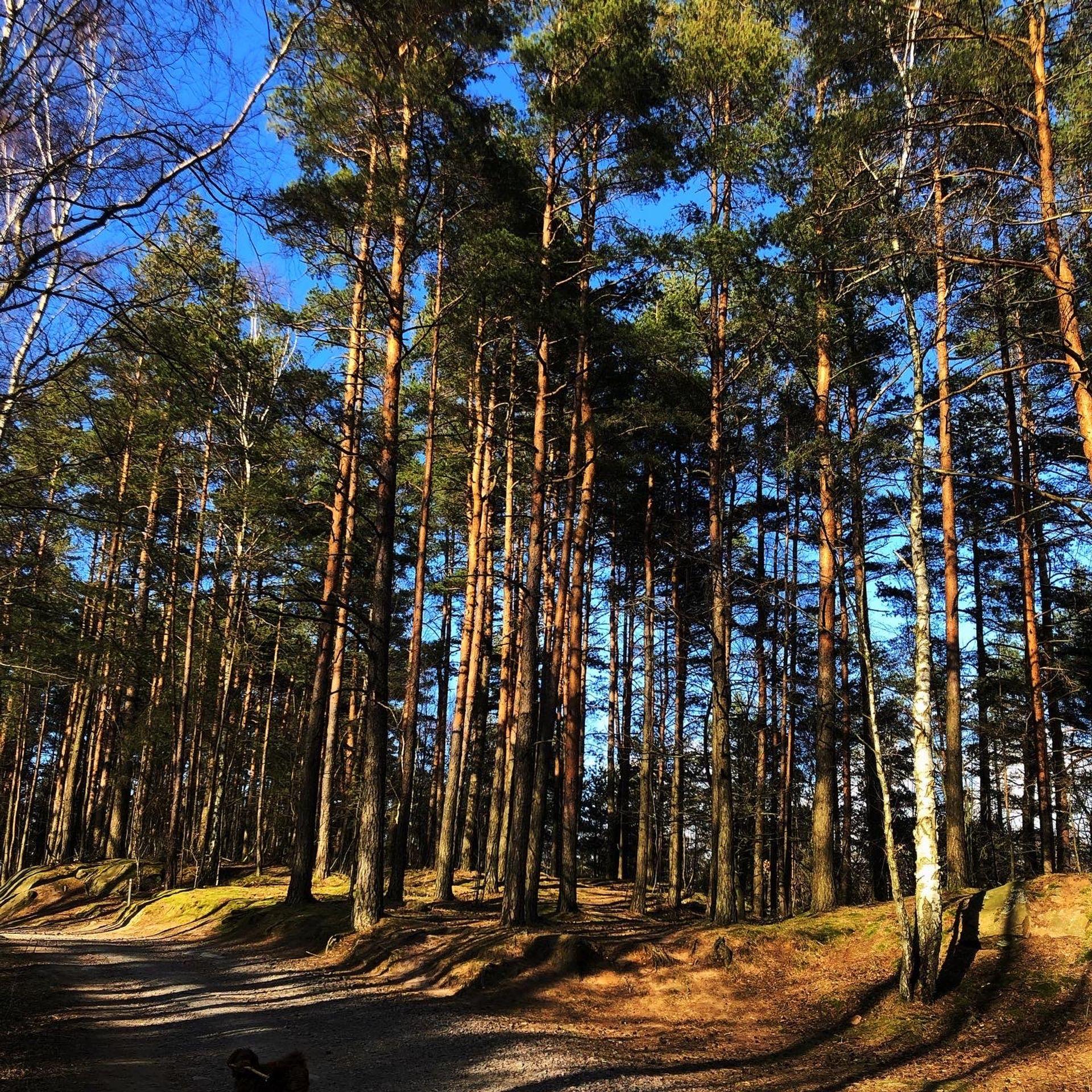 Pine tree forrest.