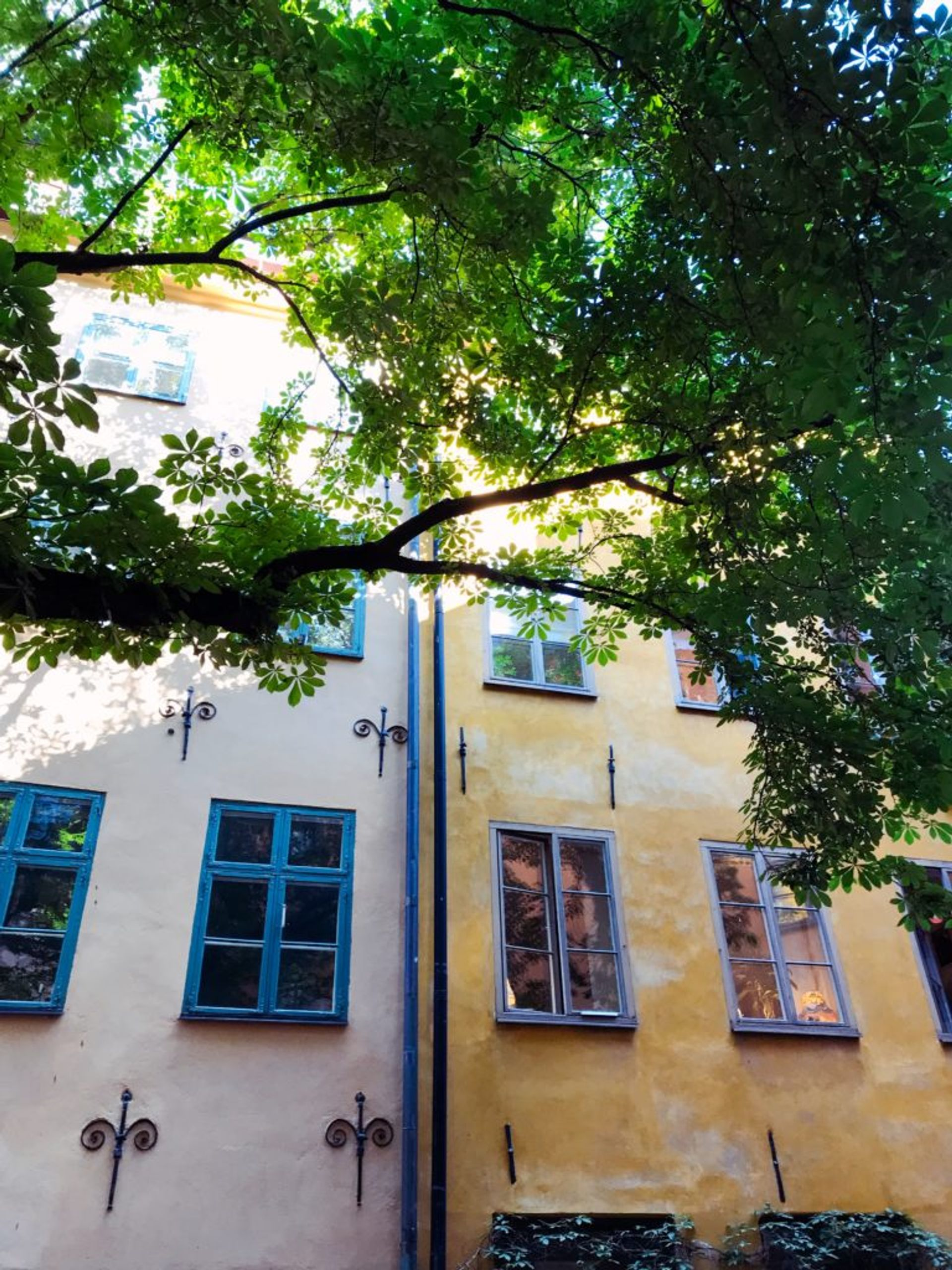 A sycamore tree in Stockholm's Old Town.