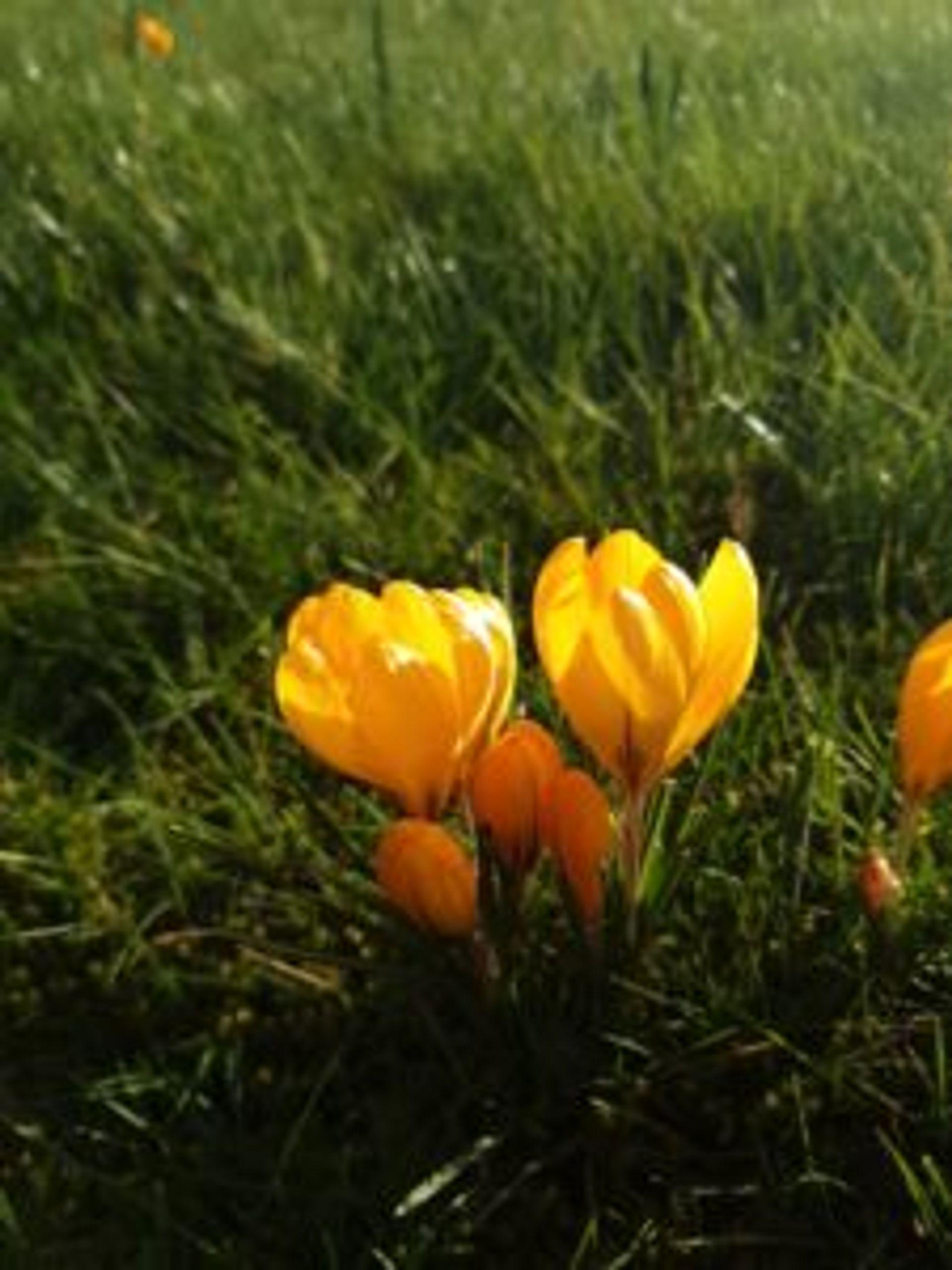 Yellow crocuses.
