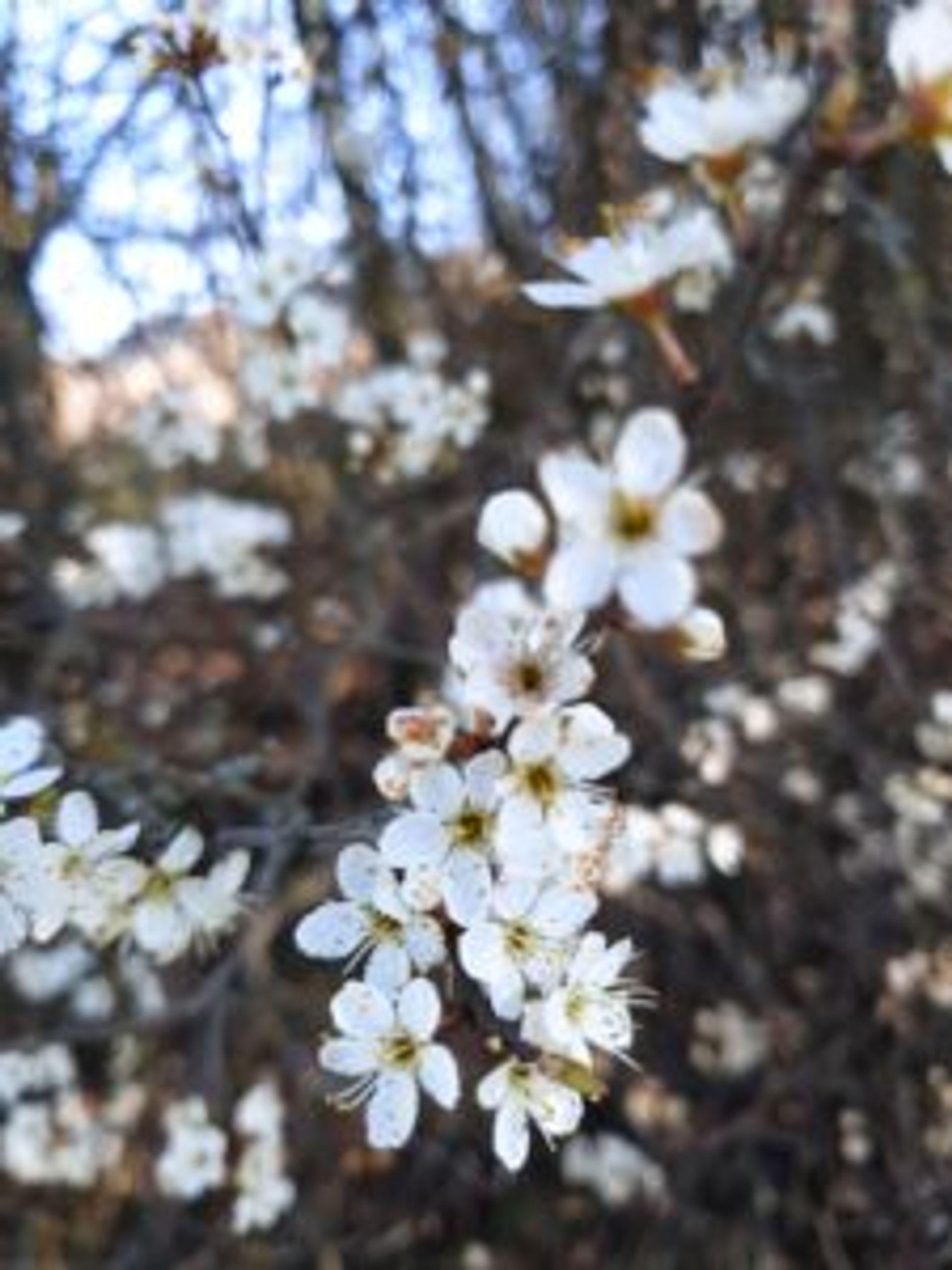 White plum flowers.