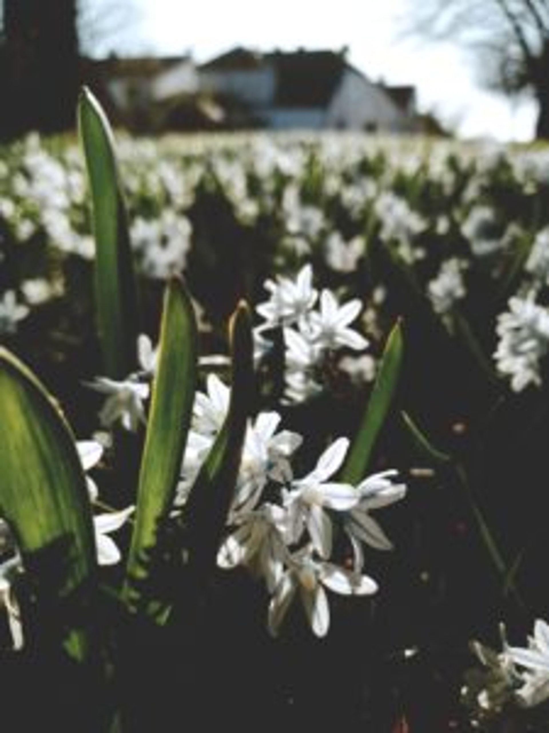 Snowdrop petals.