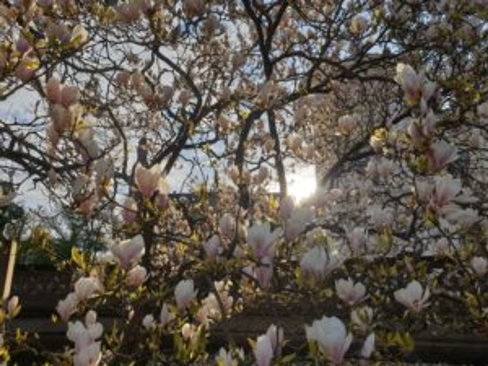 Magnolia flowers blooming on a tree.
