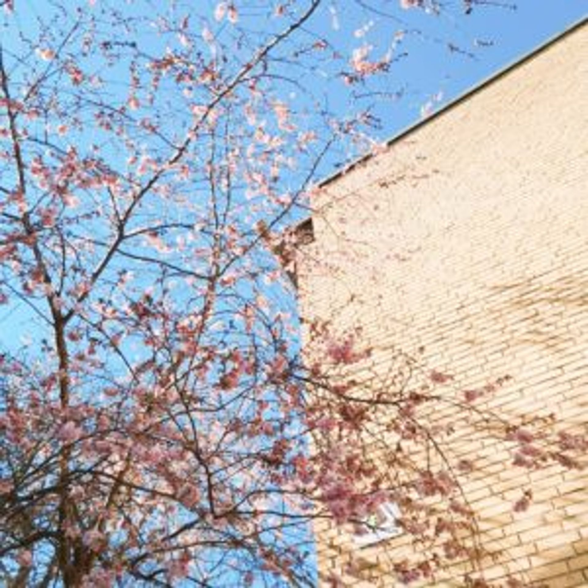 Pink cherry blossom tree beside brick building.