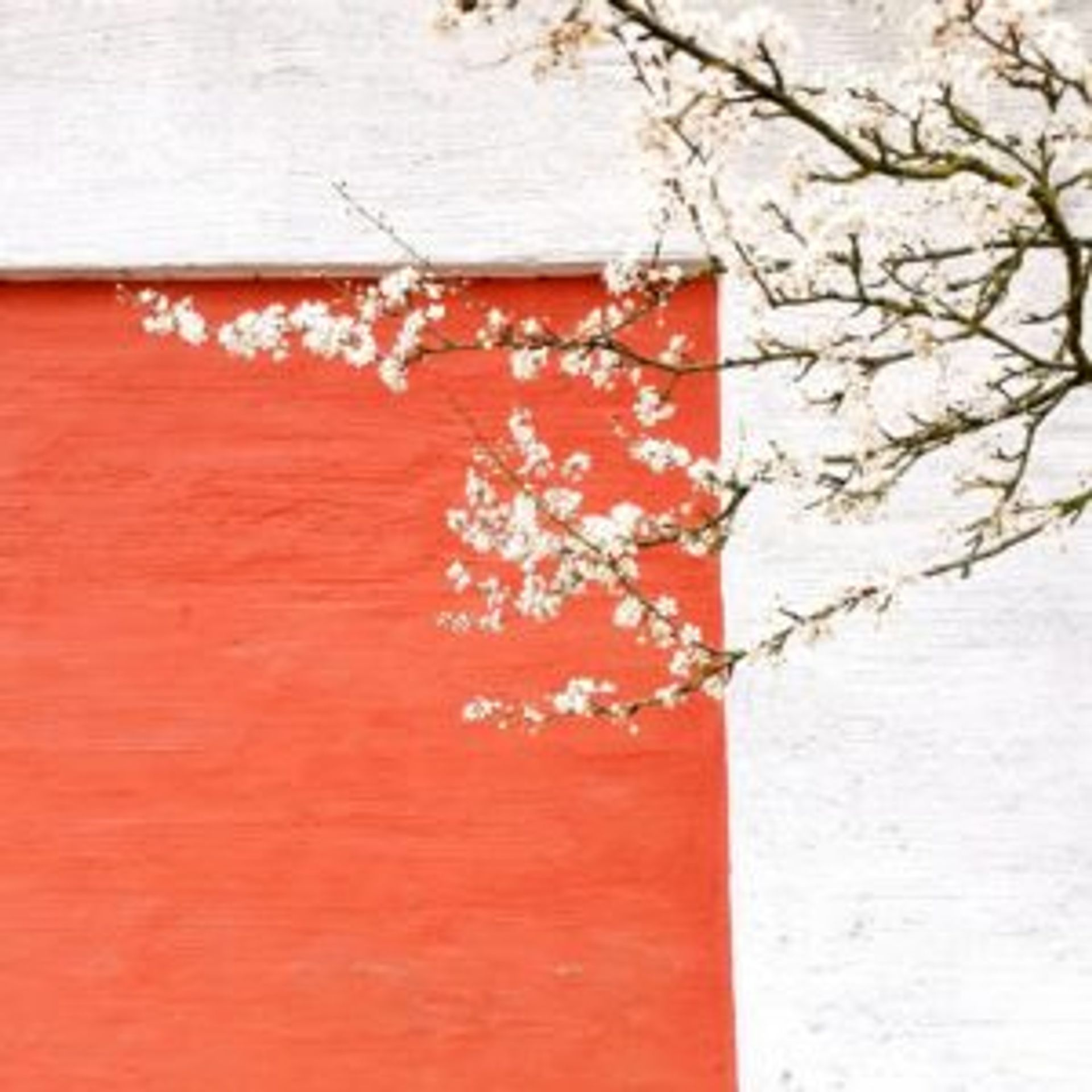 A white plum flower tree in front of a red and white building.