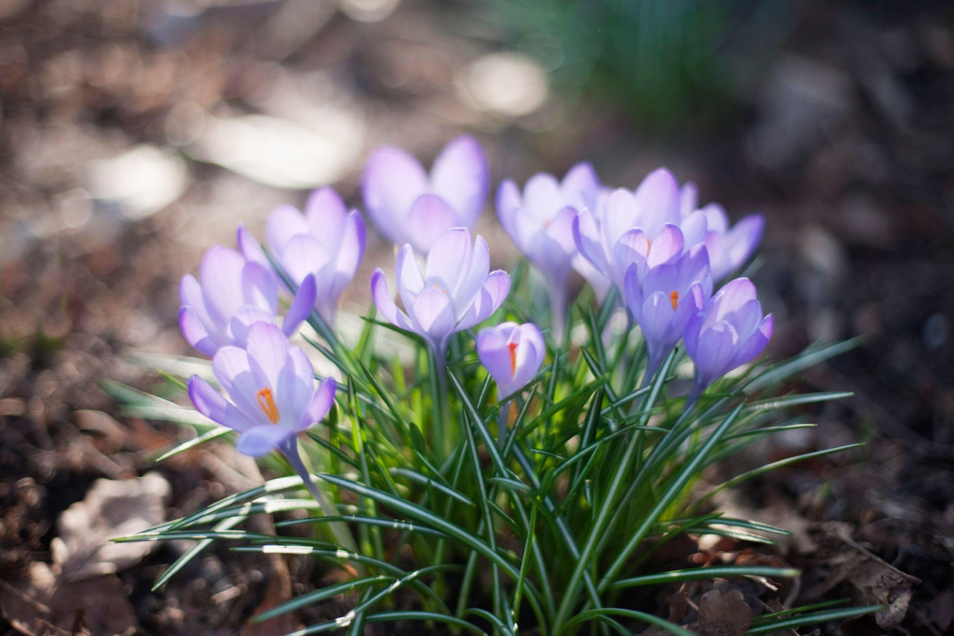 Purple crocuses.