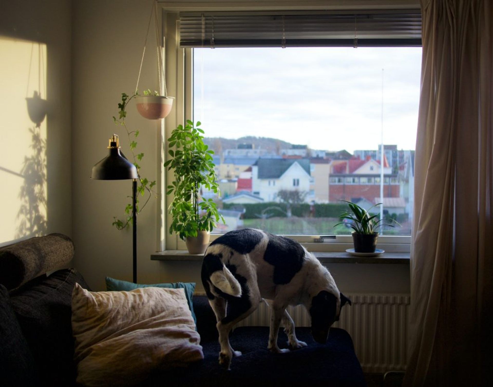 A dog standing on a grey sofa by the window.