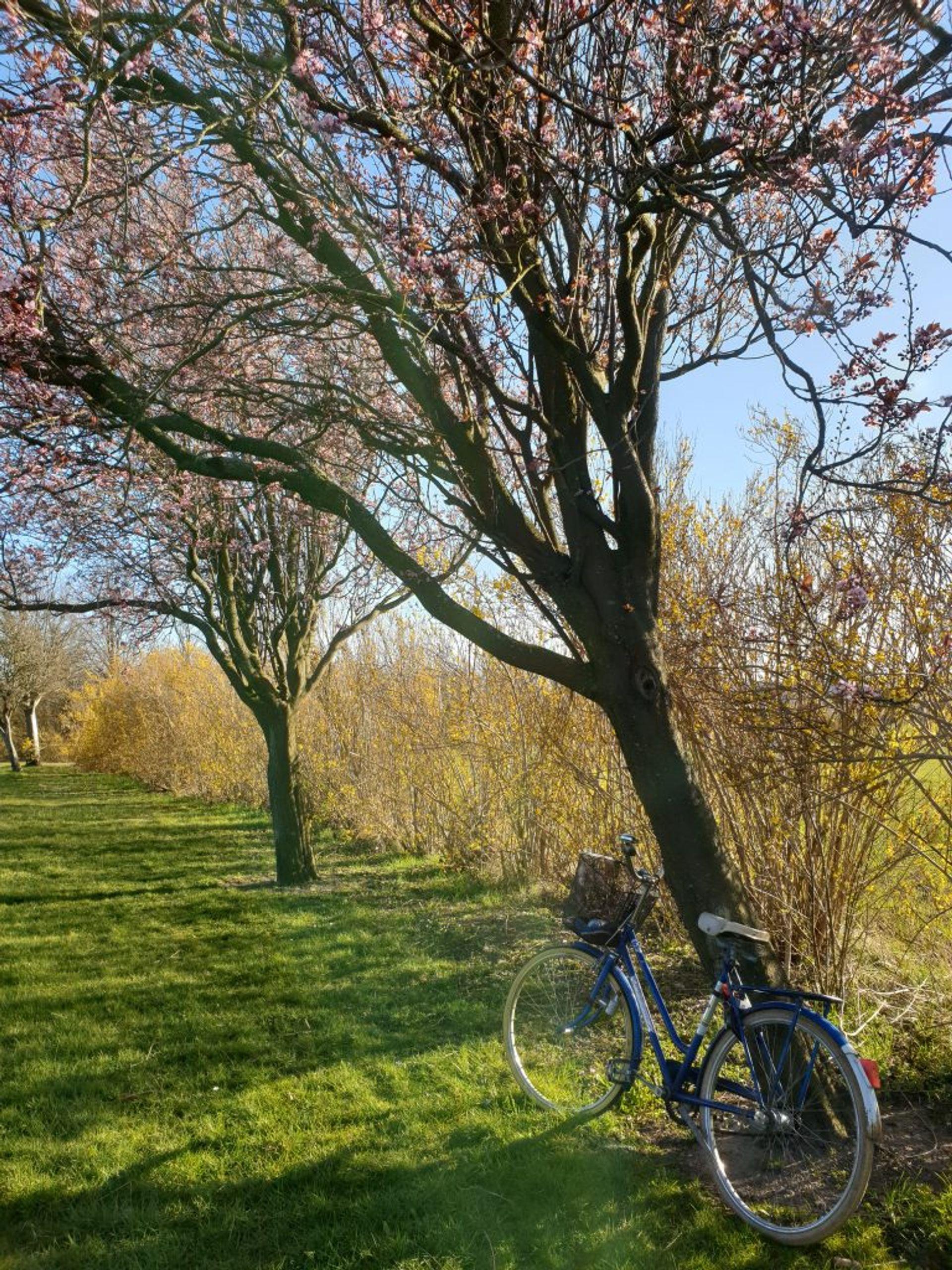 A blue bike next to a cherry blossom tree